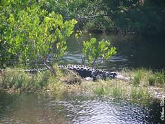 American Alligator (Alligator mississippiensis) (skyewolf72) Tags: florida alligator americanalligator naturelovers alligatormississippiensis merrittislandnationalwildliferefuge blackpointwildlifedrive