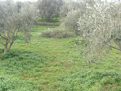 olive grove after harvest