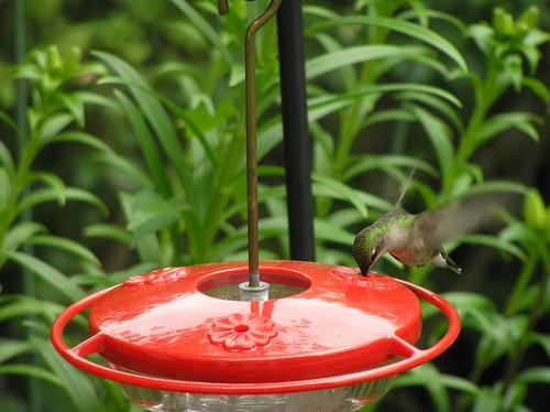 Hummingbird12