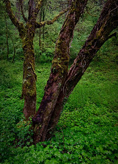 The Old Man (Bryan Swan) Tags: tree oregon forest river moss maple or columbia ethereal gorge ferns columbiagorge