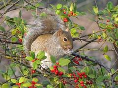 merry christmas (salma1) Tags: christmas trees yards animals squirrels holidays maryland newhouse habitat hollies supershot salma1 winter2008 vosplusbellesphotos panasonicfz28