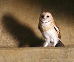 Who? (Steven Lively) Tags: bridge bird wings who tail flight feather raptor owl hoot barnowl birdofprey featheryfriday impressedbeauty