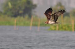 Osprey (nurur) Tags: birds river bangladesh osprey feni muhuri nurur muhuridam muhuririver