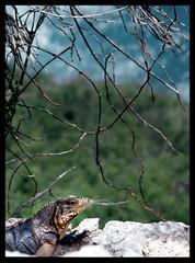 iguana (gianluca_cozzolino) Tags: world black colour nature animals 35mm reflex nikon emotion havana cuba dia iguana emotions nikonfm2 fm2 diapositiva reportage lahabana twr analogic diapo gianluca cozzolino nikonblack gianlucacozzolino nikonanalogic