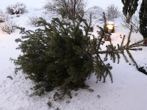 Abgeputzter Weihnachtsbaum, aus dem Fenster geworfen