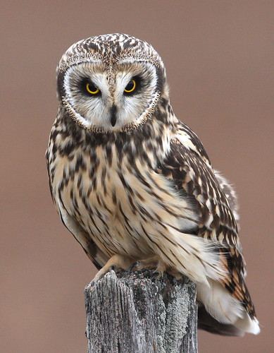 Short-eared Owl   By Mark Trabue