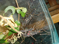 Mating Peruphasma (mantidboy) Tags: pet macro bug insect couple adult pair exotic mating stick phasmid peruphasma schultei