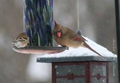 14 Jan 2009 042 (PondInk :) Tags: winter snow birds michigan femalecardinal pondink