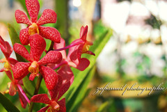 My Mum Favourite Flower (ZafIsmail) Tags: flower orkid