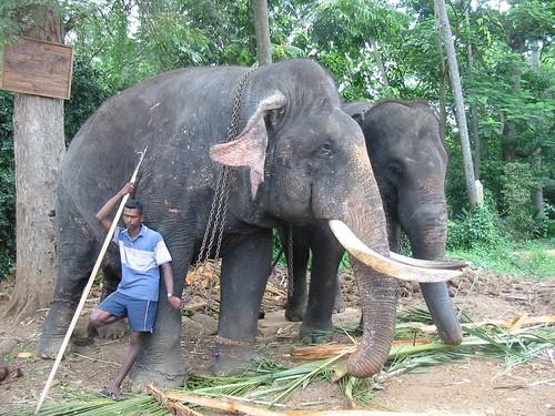 Fotomodel: de enige olifant mét slagtanden