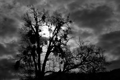An Old Oak (Beyond the Trail [Gary]) Tags: california blackandwhite oak highway3 trinitycounty hayfork garytrinity