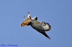 BUZZARD JUST ATTACKED BY A PEREGRINE FALCON (spw6156) Tags: copyright by lens hand steve iso 400 falcon mm 500 held buzzard raptors waterhouse peregrine attacked explored a spw6156 stevewaterhouse copyrightstevewaterhouse