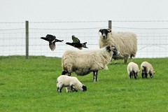 Black Grouse And White Sheep. (stonefaction) Tags: black nature birds scotland sheep angus wildlife grouse glen faved