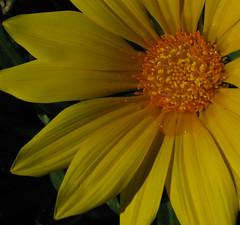 BF_Mar03ed3 (RajendraPrasad38) Tags: flower yellow closeup canonpowershotg3 thebestyellow