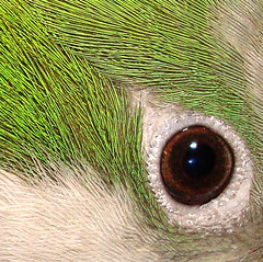 Eye of the Quaker (Cytosue) Tags: macro bird eye closeup feathers quakerparrot supershot superbmasterpiece macrophotonolimits
