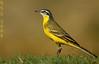 الصعوه (N-S-S) Tags: bird birds nikon sigma 800mm عصفور طيور ناصر d2xs طائر عصافير الصليهم
