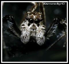 Male Protia (Stevewhy) Tags: macro nature closeup insect spider fantastic spiders arachnid extreme insects macros supermacro extrememacro naturesfinest blueribbonwinner top20spidersandwebs beautyisintheeyeofthebeholder abigfave mywinnerstrophy impressedbeauty creamofthecropanimalpics onenesslabyrinth diamondclassphotographer flickrdiamond qemdfinchadminfaveformay macromaniacsofsingapore coolestphotographers buzznbugz awesomebugs superawesomebugs excapturemacro