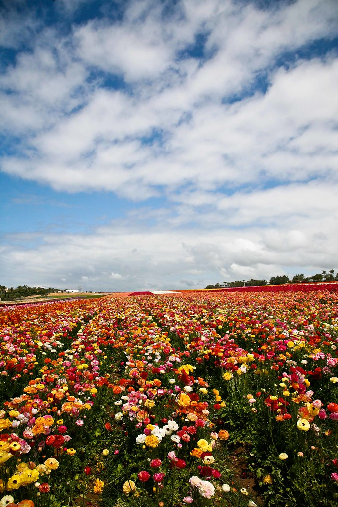 The Flower Fields - Carlsbad