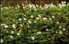 Anemones (Kirsten M Lentoft) Tags: white flower yellow forest spring anemone u much miss woodanemone tadremølle momse2600 kirstenmlentoft
