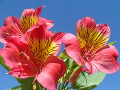 Uma flor (ptakarada) Tags: flor astromelia