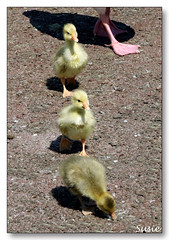 Quick, I can hear Mums footsteps (susie 1) Tags: feet beautiful yellow geese shadows sweet small canadian mums goslings tiny lovely soe caversham promanade flickrsbest golddragon mywinners platinumphoto anawesomeshot diamondclassphotographer lmaoanimalphotoaward everydayissunday goldstaraward dragongoldaward allinarowcute