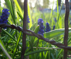 Grape hyacinths and a rusty wire fence