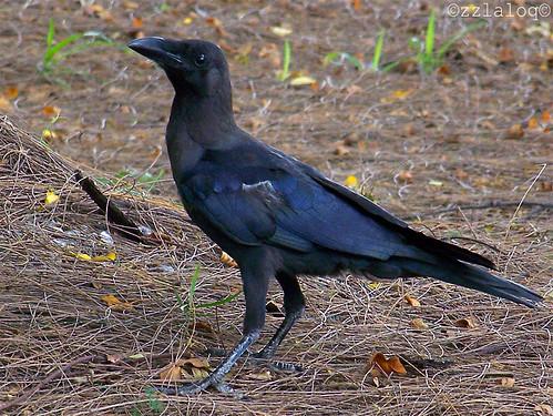 Gagak Rumah @  House Crow