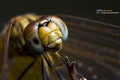 F2F...Dragonfly