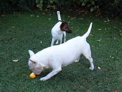 Three lemons a day keeps the doctor away (artpropelled) Tags: lemons bullterrier
