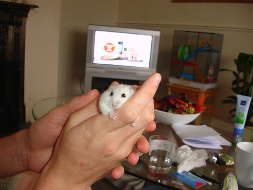 Russian Dwarf Hamster Winter White