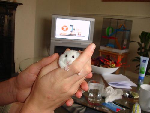 Russian Dwarf Hamster Winter White