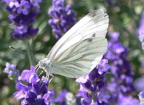 Großer Kohlweißling (Pieris brassicae), m, auf Lavendel
