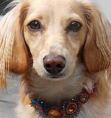 Bling** (Doxieone) Tags: dog cute english beads interestingness long cream craft dachshund explore honey blonde bracelet exploreinterestingness bling haired beading imadeit coll 1002 longhaired 140000 ibead honeydog explored englishcream 140000views lauramccabe honeyset