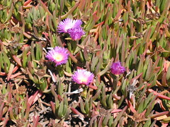 100_0041-More flowers at Pigeon Pt.