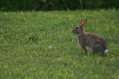IMG_2383 (Blackavar Lion) Tags: rabbit bunny conejo running hazel coelho  lapin watershipdown kaninchen fiver    canonrebelxti blackavar telephotos  2be2176f59cfac7c3f99b44a73b29c9b