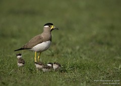 Yellow-wattled Lapwing - Vanellus malabaricus (Arpit - The Waders) Tags: birds animals wildlife lapwing arpit gujarat vanellus malabaricus yellowwattled arpitdeomurari deomurari birdsofgujarat birdsofindiabirdsofkutchbirdsofjamnagarwadersbirdsofgulfofkutchjamnagarkutchgreatrannofkutchlittlerannofkutchgujaratindiaindianbirdsarpitwildlifephotographyarpitbirdphotographyarpitwadersphotography gujaratphotography gujaratwildlifephotography gujaratbirdphotography arpitdeomurariwildlifephotography arpitdeomurariphotography kutchwildlifephotography kachchhwildlifephotography indiawildlifephotography