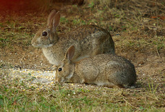 Peter N Dad/Mom (bison_bill_c) Tags: bunny nature aficionados myyard naturesfinest pentaxk10d aficinonados bisonsyard