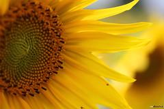 sunshine (mdoors) Tags: summer blumen sonnenblume naturesfinest eos450d efs60mmf28macrousm rubyphotographer