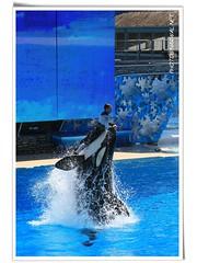 Shamu - Believe (Narwal) Tags: show california ca canon is sandiego stadium believe killer l whale usm seaworld shamu 100400mm   f4556