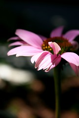 for you :) (~moniqe~) Tags: pink light shadow orange flower nature leaf echinacea bokeh petal ~moniqe~ theworldinpink
