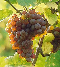 Gewurz grapes
