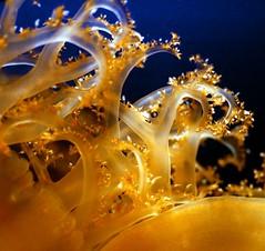 /jellyfish (nobuflickr) Tags: aquarium jellyfish osaka kaiyukan blueribbonwinner impressedbeauty ourplanet macromarvels goldstaraward photo