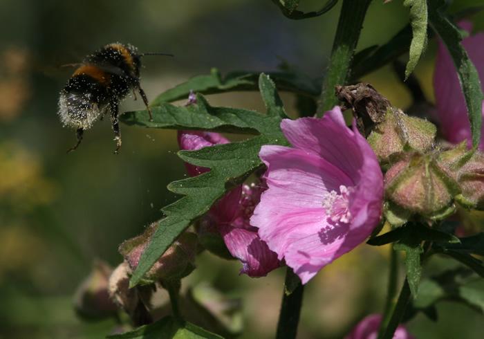 Bumblebee takeoff