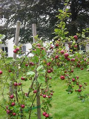 Apple tree at the Fretheim Hotel (cosmosgarden) Tags: norway flam fruittrees