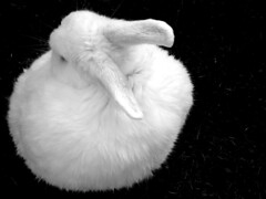 Round? (KarolusLinus) Tags: bw pet white black rabbit animal blackwhite zwartwit konijn zwart wit huisdier dier blackwhitephotos