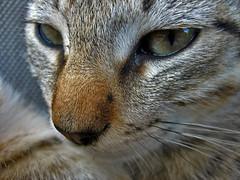cat (maximorgana) Tags: cat roman attitiriti´s