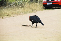 Southern Ground Hornbill, Salitje Road, KNP Aug 2004 (roelofvdb) Tags: 463 knp lowersabie
