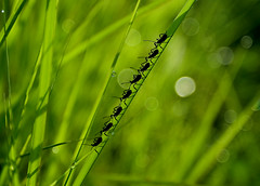 the army (linh.ngan) Tags: morning macro green nature grass work bug garden weed dof bokeh wildlife dew saveearth buzznbugz alemdagqualityonlyclub vietbestphoto
