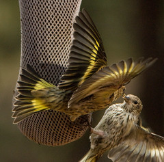 Pine Siskins - Beautiful Fighters (Amicus Telemarkorum) Tags: birds colorado estespark pinesiskins slbdefendingterritory slbterritorialbehavior advancedyetiphotography jeffreyrueppelphotography estesparkwildlife