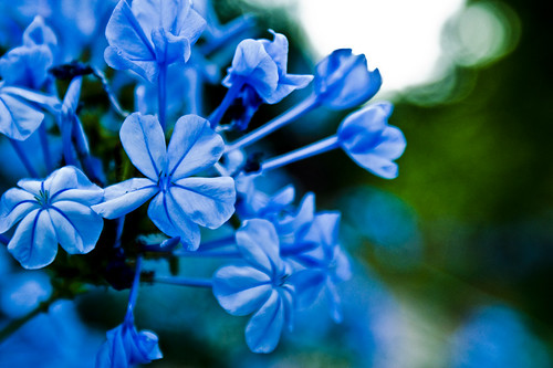 Blue flower 3 by Peter Heilmann.